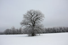 Winter landscape with a lonely oak. Stock Image