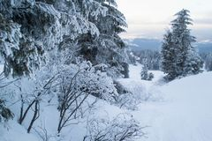 Winter landscape majestic firs covered with snow. Winter landscape majestic firs and bushes covered with snow, picturesque nature Stock Photos