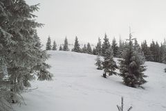 Winter landscape firs and bushes in the snow. Winter landscape majestic firs covered with snow, picturesque nature, freeride track Stock Images