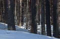 Winter landscape in the mountain forest with old and new trees Royalty Free Stock Images