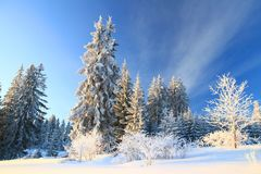 Pine forest in winter Stock Photography