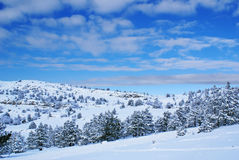 Winter landscape N. Spruce trees covered by snow in beautiful winter landscape Royalty Free Stock Photo