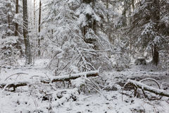 Winter landscape of natural forest with dead spruce trees Stock Photos