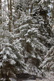 Winter landscape of natural forest with juvenille spruce trees Stock Images