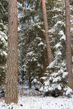 Winter landscape of natural forest with pine trees Stock Images