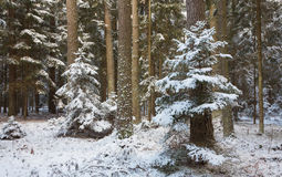 Winter landscape of natural forest with pine trees trunks and spruces Royalty Free Stock Image