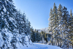 Snowy pine trees Royalty Free Stock Images