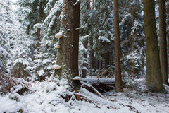 Winter landscape of old coniferous stand of Bialowieza Fores Royalty Free Stock Photography