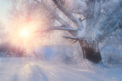 Winter landscape with old frosty winter tree in the sunrise. Winter wonderland scene Stock Images