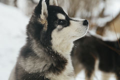 Winter landscape with pair of siberian husky malamute dogs posing outside. Royalty Free Stock Photo