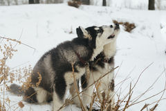 Winter landscape with pair of siberian husky malamute dogs posing outside. Stock Images
