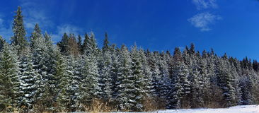 Winter landscape panorama with pine trees Royalty Free Stock Images