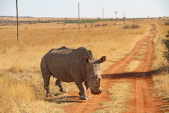 Winter landscape photo of a white rhino on a reddish dirt road. The white rhino are the second largest land mammal. Known as the square-lipped rhinoceros Stock Photography