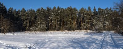 Pine forest and blue sky. Winter landscape. Pine forest and blue sky royalty free stock photography