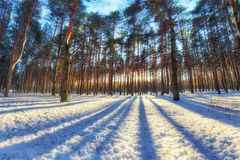 Winter landscape in the pine forest with striped reflection. Winter landscape with pine forest. Reflection from the trees creates a  pattern on the snow. High Royalty Free Stock Photos