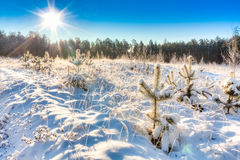 Winter landscape with the pine forest and sunset Stock Images