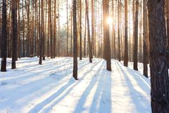 Winter landscape of pine forest stock image