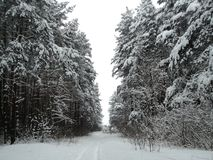 Winter landscape pine forest under snow Stock Photos