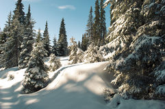 Winter landscape, pine trees covered in snow Stock Images