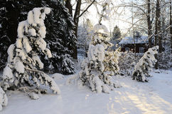 Winter landscape, pine trees covered with snow Stock Photography