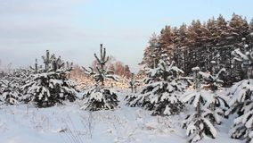 Winter landscape, pine under weight of snow. Winter evening landscape, young pine under weight of snow stock video