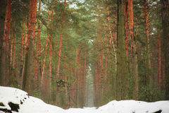 Winter landscape. Pine winter wood. Winter forest. Stock Images