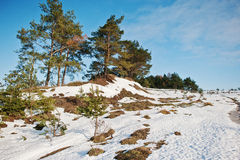 Winter landscape with pine wood, snow and small hill on blue sky Royalty Free Stock Photo
