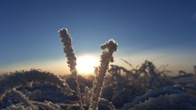 Winter landscape plant covered with snow against the background of sunset. Frozen growths against the background of a Stock Image