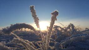 Winter landscape plant covered with snow against the background of sunset. Frozen growths against the background of a Royalty Free Stock Photos