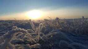 Winter landscape plant covered with snow against the background of sunset. Frozen growths against the background of a Stock Images