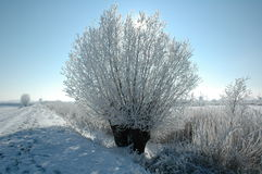 Winter landscape. A pollard willow covered with snow Royalty Free Stock Photos