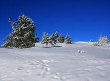 Winter landscape Q. Spruce trees covered by snow in beautiful winter landscape Royalty Free Stock Photo