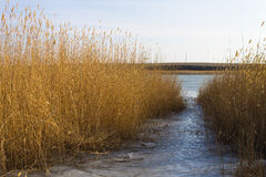 Winter landscape with reed on a clear day. stock photography