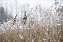 Winter landscape with reeds Royalty Free Stock Photos