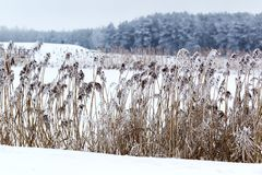 Winter landscape. Reeds and snow. Royalty Free Stock Image