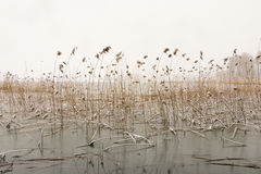 Winter landscape with reeds Stock Image