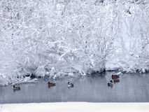 Winter landscape with the river and floating ducks-2 Stock Photos