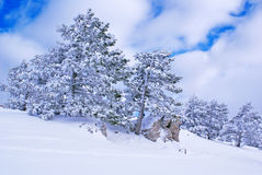 Winter landscape S. Spruce trees covered by snow in beautiful winter landscape Royalty Free Stock Images