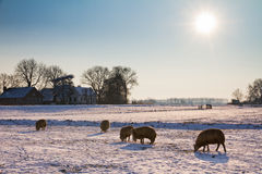 Winter landscape sheep. Dutch scene with sheeps grazing in the snow on a sunny day in winter Royalty Free Stock Image