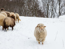 Winter landscape with sheep Royalty Free Stock Photo