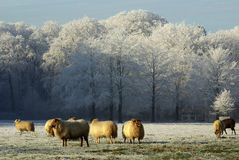 Winter landscape with sheep Royalty Free Stock Photos