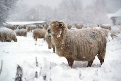 Winter landscape with sheep and snow. Beautiful winter landscape with fresh snow and a lot of sheep Royalty Free Stock Image