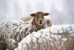 Winter landscape with sheep and snow Royalty Free Stock Photos