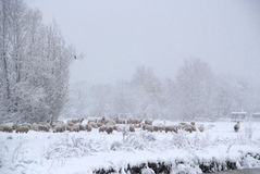 Winter landscape with sheep and snow. Beautiful winter landscape with fresh snow and a lot of sheep Royalty Free Stock Photos