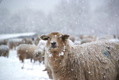 Winter landscape with sheep and snow Stock Photos