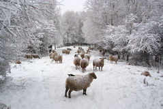Winter landscape with sheep and snow Stock Photo