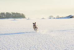 Winter landscape at shore of Baltic sea, Finland. Jack Russell Terrier pet playing on ice Royalty Free Stock Images