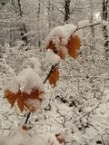Winter landscape shrub with brown leaves. Winter landscape shrubs with snow and brown leaves Royalty Free Stock Photography