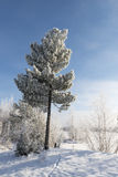 Winter landscape Siberian pine in hoarfrost Royalty Free Stock Photography
