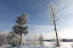Winter landscape Siberian pine in hoarfrost Royalty Free Stock Images